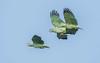 Southern Mealy Amazons (Parrots) (tickspics ) Tags: amazonbasin amazonafarinosa blanquilloclaylick manú manúbiospherereserve manúnationalpark neotropicalparrots parrots peru psittacidae southamerica southernmealyamazon southernmealyparrot tropicalrainforest