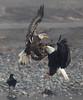 Eagle Skirmish (elliott845) Tags: baldeagle eagle bird animal nature wildlife birdofprey raptor majestic washington pacificnorthwest pnw washingtonstate cascades skagit skagitriver