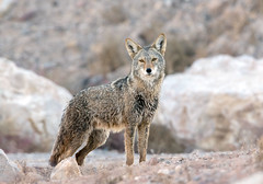 Coyote (Ed Sivon) Tags: america canon nature lasvegas wildlife wild western water southwest desert duck clarkcounty clark vegas henderson nevada nevadadesert park
