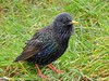 Starling (Sturnus vulgaris) (Nick Dobbs) Tags: starling sturnus vulgaris bird dorset sturnidae