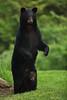 "The Definition of ""Safe"" – Mother Black Bear and Cub (Bryan Carnathan) Tags: blackbear cub blackbearcub bear bears wildlifephotography babyanimal pennsylvania pa hunting centralpennsylvania pennsylvaniaheartland outdoorphotography nature canon 5diii 5dmarkiii canoneos5dmarkiii"