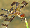 a lady Halloween ... I can dream, can't I? (Vicki's Nature) Tags: halloweenpennant adult female brown gold stripes wings redeyes dragonfly hickorylog georgia vickisnature canon s5 water 5437 ngc npc