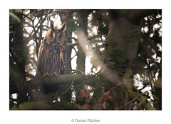 Watching carefully (florianpluecker) Tags: waldohreule long eared owl eule garten backyard watching beobachten vogel bird wildlife nature natur sigma 150600 contemporary germany deutschland vettweiss
