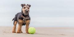 Dickie Bow & Ball (Nathan J Hammonds) Tags: welsh terrier dog beach ball dickie bow wales uk sea summer nikon d750 hound