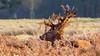Crowned (Valentin Laurentziu) Tags: wildlife animal grass fern resting red deer stag