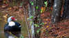 THE EDGE OF THE POND (Wolf Creek Carl) Tags: birds animal duck nature littletallapoosa outdoors pond water carrollton georgia
