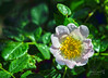 Ettlingen 13 May 2015-0039.jpg (JamesPDeans.co.uk) Tags: rose badenwürttemberg ettlingen for man who has everything flowers plants nature wwwjamespdeanscouk germany digital downloads licence wildflowers prints sale europe landscapeforwalls james p deans photography digitaldownloadsforlicence jamespdeansphotography printsforsale forthemanwhohaseverything badenwürttemberg de
