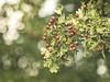 2014-09-02 um 13-58-48 (torstenbehrens) Tags: fruit nature bokeh tarbek schleswigholstein deutschland m42 objektiv mc revuenon 200mm f35 panasonic dmcg1