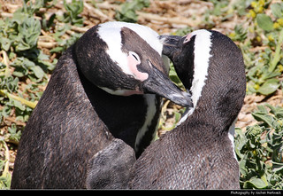 Penguins, Boulders Beach, Simon's Town, South Africa