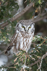 ''Le fière!'' Nyctale de tengmlam-Boreal Owl (pascaleforest) Tags: hibou owl oiseau bird animal passion nikon nature wild wildlife faune québec canada winter hiver connifère reagrd nationalgeographic arbre wood