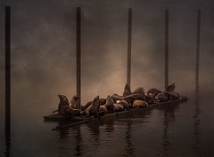 The boys of the mooring basin. (robn848 - gone for now) Tags: texture wildlife sealions painterly