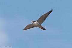 Peregrine Falcon (mobull_98) Tags: peregrinefalcon falcon