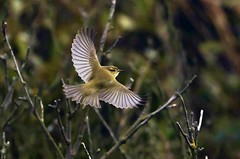 Chiffchaff taking off (Jaedde & Sis) Tags: gransanger chiffchaff phylloscopuscollybita flight feathers