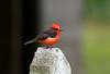 Vermilion Flycatcher ---- Pyrocephalus rubinus (creaturesnapper) Tags: ecuador southamerica birds flycatchers puembo vermilionflycatcher pyrocephalusrubinus coth5