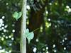Hearts (k-o-m-a-n-e-k-o) Tags: nikon d750 forest mountain leaf vine branch fujioka gunma japan sun beam shine つる 森 山 葉 藤岡 群馬 木漏れ日