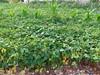 (polianaamaral) Tags: plantas cerca arame campanha gerais minas milho de pé terra pedras