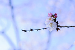 Cherry Blossoms (takao.horikoshi) Tags: cold cherry tree