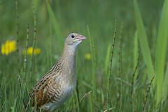 Crex crex (J J McHale) Tags: corncrake crexcrex nature wildlife scotland crake