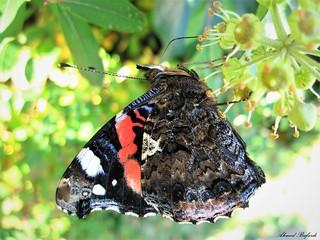 Butterfly 1544