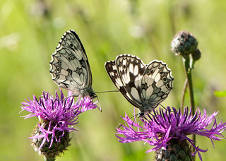 Marbled White Butterflies