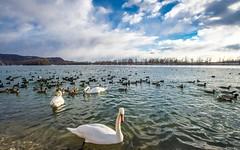 lake Zajarki (109) (Vlado Ferenčić) Tags: lakes swans swansfamily vladoferencic lakezajarki vladimirferencic zaprešić nikond600 nikkor173528 birds animals animalplanet cloudy clouds winter
