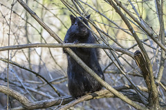 "Did somebody say ""nuts""? (_3210507) ([Rossco]:[www.rgstrachan.com]) Tags: 2017 bigma britishcolumbia canada hogmanay lostlagoon nature newyearseve sigma50500 stanleypark vandusen wildlife"