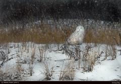 Snowy Day (Sharon's Nature) Tags: natgeo wildlife wild raptor storm canon buboscandiacus beach winter snowyowl