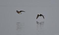 Long-tailed Duck - 094A3617ac (Sue Coastal Observer) Tags: longtailedduck ltdu clangulahyemalis blackiespit surrey bc britishcolumbia canada fog flight pair