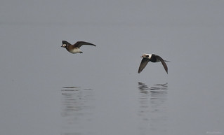 Long-tailed Duck - 094A3617ac