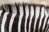 Stripes (matttrevillion) Tags: etosha namibia africa zebra