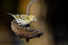 xxD40_6038 (Eyas Awad) Tags: eyasawad nikond4 sigma500f45 nikond800 nikonafs300mmf4 bird birds birdwatching wildlife nature lucherino spinusspinus