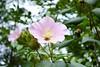 Hibiscus mutabilis --  Confederate Rose in flower 0869 (Tangled Bank) Tags: sarahpdukegardens durhamnorthcarolinaplantflorabotanybotanicalgardenplants