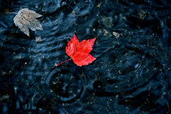 Inked Autumn (Spectacle Photography) Tags: leaf red autumn canada vancouver britishcolumbia travel