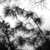 Needle points (locusmeus) Tags: 365 autumn pine needles silhouette blackandwhite bw