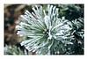 festive pine (alamond) Tags: christmas newyear festive holidays pine green frost ice branch tree goodwishes bokeh canon 7d markii mkii llens ef 1740 f4 l usm alamond brane zalar