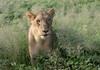 Lioness cloes up (jaffles) Tags: southafrica südafrika krügernationalpark kruger np wildlife safari natur nature beautiful olympus