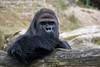 Gorilla - Zoo Krefeld (Mandenno photography) Tags: dierenpark dierentuin dieren animal animals duitsland germany krefeld zookrefeld gorilla ngc nature