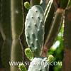Opuntia tomentosa-4 (SUBENUIX) Tags: cactaceaeopuntias opuntiatomentosa suculentas subenuix subenuixcom planta suculent suculenta botanic botanical