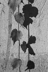A o B (Lorenzo BC-1) Tags: scelta bianco nero foglie choice black white leaves corda rope ombra shadow