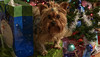 Carson Under the Tree (Bob G. Bell) Tags: yorkshireterrier christmas christmastree presents dog puppy bobbell leica kentucky