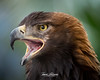 Tonka (ToddLahman) Tags: tonka goldeneagle golden eagle animalambassador animal beautiful male bird sandiegozoosafaripark safaripark canon7dmkii canon canon100400 closeup escondido eyelock