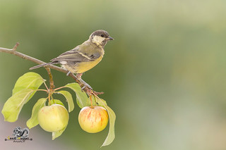 great tit on a apple branch