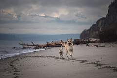 Pip and Pop (ArmanWerthPhotography) Tags: armanwerthphotography pippa poppy dogs running beach doublebluffbeach