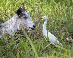 Cattle Egret (karenmelody) Tags: animal animals ardeidae bird birds bubulcusibis cattleegret egret egrets pelecaniformes trinidad vertebrate vertebrates