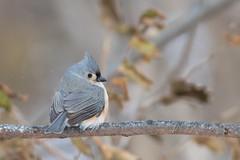 Mésange Bicolore / Tufted Titmouse (ALLAN .JR) Tags: mésangebicolore tuftedtitmouse baeolophusbicolor oiseau bird nature wild hiver winter ilestbernard nikon