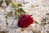 Rose on Ice (Serge Quadrado) Tags: red rose scarlet flower horisontal ground winter feelings dramatic broken ice pieces date miss sad touching upset divorce quarrel