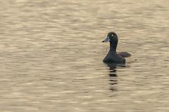 Tufted Duck (iantaylor19) Tags: warwickshire wildlife trust brandon marsh reserve tufted duck british birds