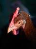 Trioplan with chicken (mechanicalArts) Tags: trioplan 29 50mm red v huhn chicken marans