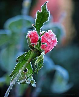 Escarcha Rose