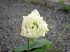 Sacred Lotus 'White Peony'  บัวหลวง 'ไวท์ พีโอนี่' 8 (Klong15 Waterlily) Tags: ไวท์พีโอนี่ whitepeony sacredlotus lotus nelumbo nelumbonucifera บัวหลวง บัวหลวงขนาดเล็ก บัวหลวงสีขาว
